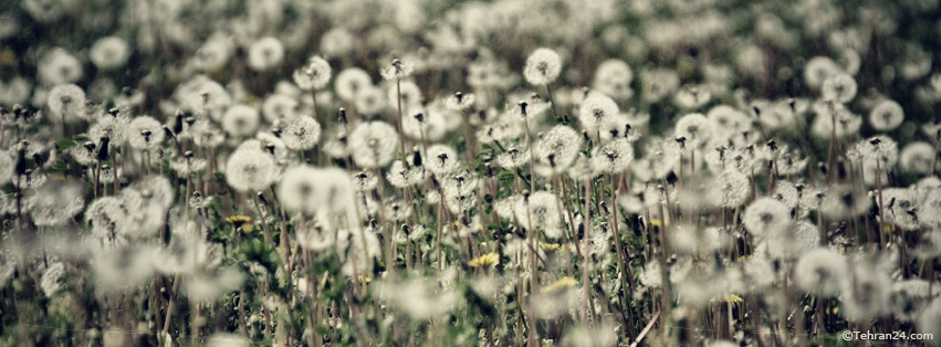 Dandelion - Facebook Cover