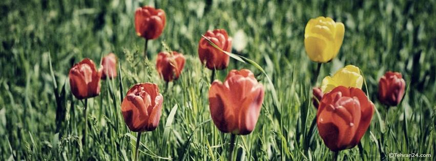 Tulip  - Facebook Cover